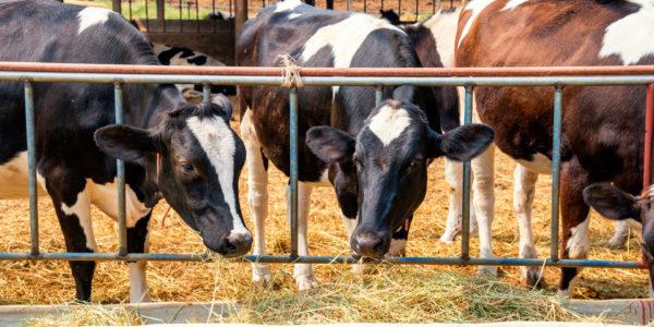 tres-vacas